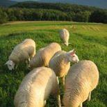 Lambs at Longview
